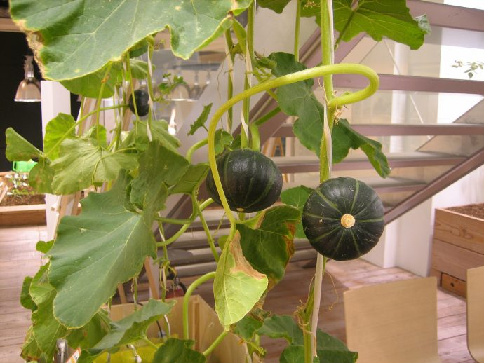 Hydroponic pumpkins and a variety of other fruits and vegetables drape the walls, roofs and railings of the Pasona building. Photo courtesy Pasona.