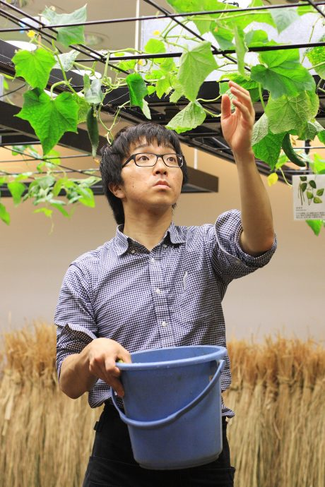 A Pasona Nouentai staffer tends to cucumber vines. Photo by Ben Davis.